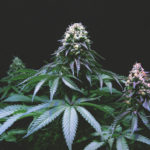 Marijuana M&A: Special Due Diligence Considerations